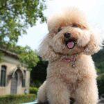Cách chăm sóc Toy Poodle - giống chó thông minh được yêu nhất thích thế giới